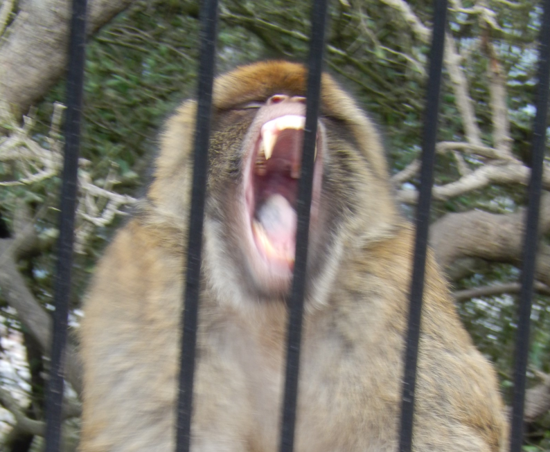 Gibraltar Monkey Behind Fence